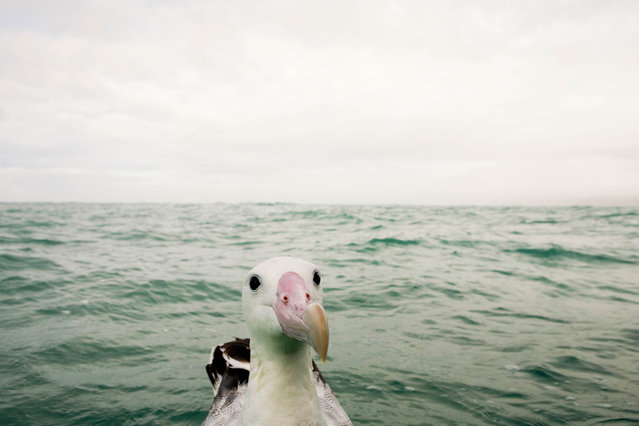 'Whats going on over here?' A curious albatross. (Photo by Sebastian Kennerknecht/Comedy Wildlife Photography Awards/Mercury Press)