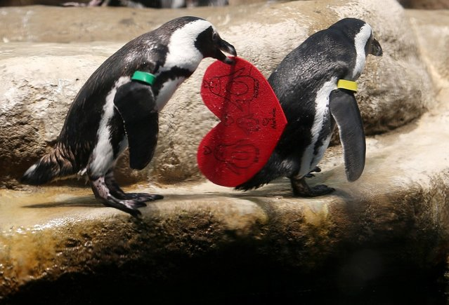 An African Penguin holds a Valentine's Day card at the California Academy of Sciences on February 13, 2013 in San Francisco, California.  In honor of Valentine's Day, the colony of African Penguins at the California Academy of Sciences received heart-shaped red valentines with hand written messages from Academy visitors.  (Photo by Justin Sullivan)