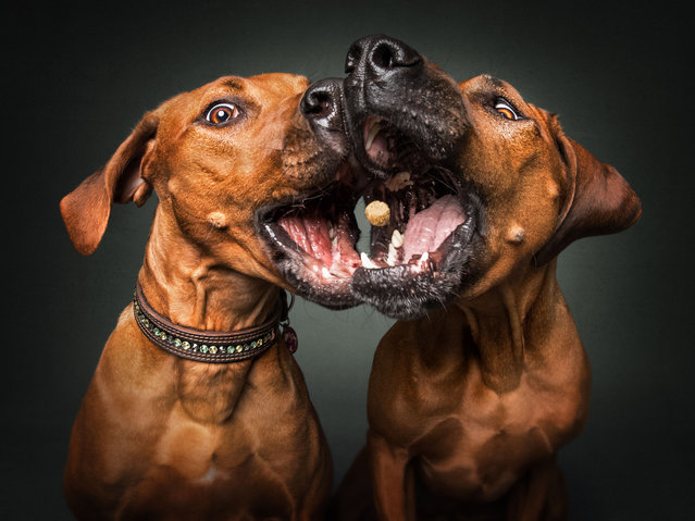 """A photographer tested the concentration of several pairs of dogs as he captured their reactions to treat time in a series of shots. Christian Vieler, 47, of Waltrop, Germany, has been a professional dog photographer since 2016. He came up with the idea of snapping two dogs catching treats simultaneously. The series of images, published in September 2017, show dogs including a pair of Labradors, two Border Collies and a couple of Basset Hounds as they hope to become the ultimate good boy. """"I tried to catch the faces of dogs while they are trying to catch a treat in midair, looking shocked, confused, joyful or sad"""", Vieler said. """"My favorite image shows two Basset Hounds looking expectant toward the camera"""", he added. """"Their eyes are telling a story, demanding and a little bit of disbelief. I am grateful to have the chance to work as a professional dog photographer. After shooting Snapshots for four years now, I still enjoy every shoot I do"""". Here: Rhodesian Ridgebacks. (Photo by Vieler Photography/Caters News Agency)"""