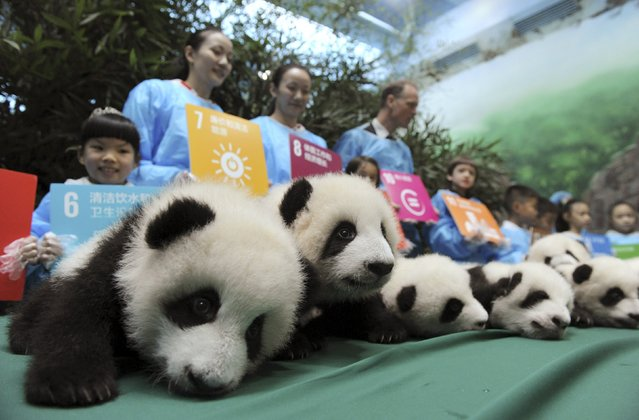 Giant panda cubs, which were born in 2015, are seen on display next to participants holding placards with their goals and wishes for the United Nations in the future, during a celebration to mark the 70th anniversary of the United Nations, at the Chengdu Research Base of Giant Panda Breeding in Chengdu, Sichuan province, China, October 24, 2015. (Photo by Reuters/China Daily)