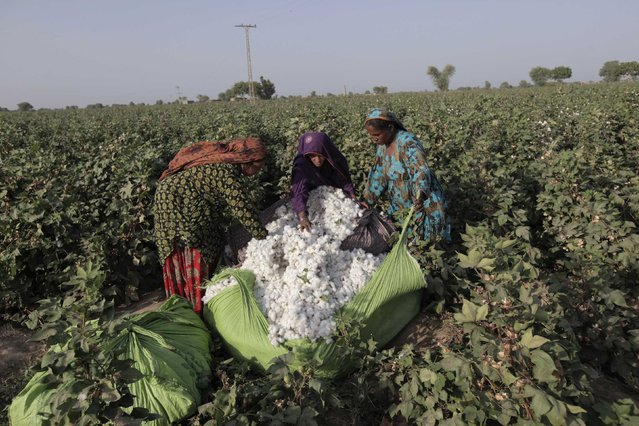 Women cotton pickers unload cotton blooms plucked from plants to make a bundle in a field in Meeran Pur village, north of Karachi September 25, 2014. (Photo by Akhtar Soomro/Reuters)