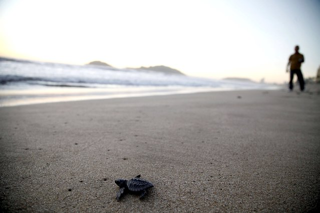 An Olive Ridley turtle hatchling (Lepidochelys olivacea) crawls towards the ocean after being released in Mazatlan, Mexico, November 7, 2015. (Photo by Reuters/Stringer)