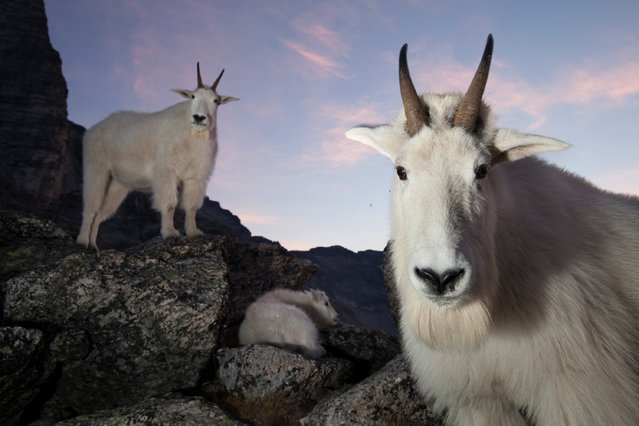 Young Canadian Connor Stefanison won this year's Fritz Pölking junior prize with a 'varied, informative and incredibly well-executed portfolio' on mountain goats. On a calm morning before sunrise, a small family of mountain goats rests in a boulder field on an alpine ridge. In the foreground is the dominant billy (male), and in the background are the dominant nanny (female) and their kid (baby). (Photo by Connor Stefanison/Fritz Pölking Prize/GDT EWPY 2015)
