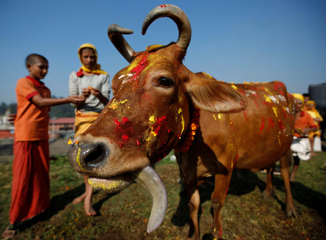 A cow adorned with garlands and smeared with vermilion powder is pictured during a religious ceremony celebrating the Tihar festival, also called Diwali, in Kathmandu, Nepal October 30, 2016. (Photo by Navesh Chitrakar/Reuters)