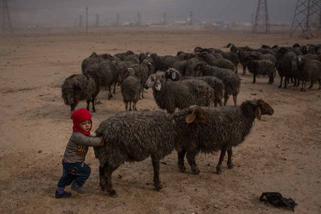 A child pushes a sheep, with wool blackened by smoke and oil from burning oil wells set on fire by fleeing ISIS members, on November 10, 2016 in Al Qayyarah, Iraq. Many families have begun returning to their homes in recently liberated towns south of Mosul. Oil wells in the area that were set on fire by ISIS continue to burn blanketing the area in think clouds of smoke and oil. (Photo by Chris McGrath/Getty Images)