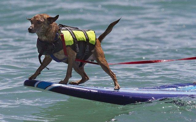 Jengo enjoys the ride. (Photo by Taylor Jones/The Palm Beach Post)