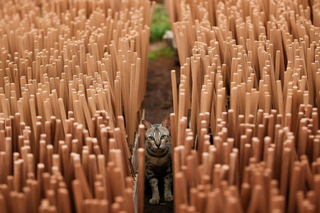 A cat is seen among incense sticks drying at a home-industry factory, ahead of the Chinese Lunar New Year, in Tangerang, on the outskirts of Jakarta, Indonesia, February 10, 2021. (Photo by Willy Kurniawan/Reuters)