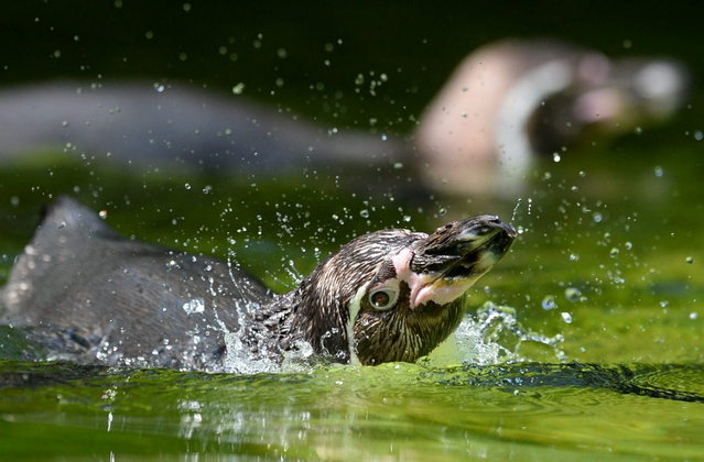 A Humboldt penguin takes a bath in a pool of his enclosure on July 9, 2013 at the Zoo in Berlin. Temperatures in the German capital are forecast to reach up to 28 degrees Celsius. (Photo by Matthias Balk/AFP Photo)