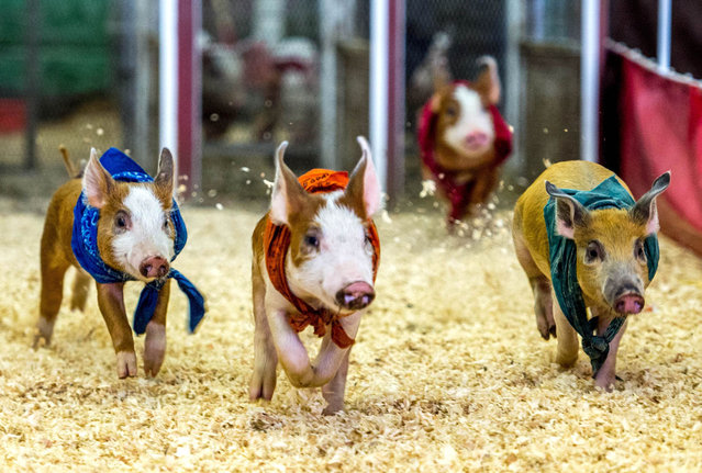Pigs compete in a race during the Los Angeles County Fair 2013 in Pomona, California on September 4, 2013. The LA County Fair kicked off on August 30 and will run through September 29. (Photo by Joe Klamar/AFP Photo)