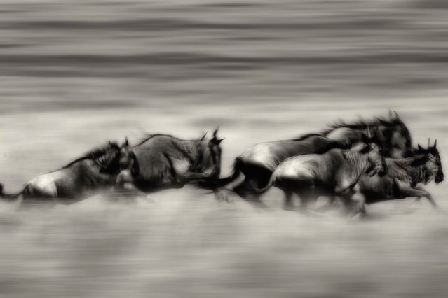 A herd of wildebeest on the run as they migrate across the plains of the Masai Mara in Kenya. (Photo by Alex Bernasconi)