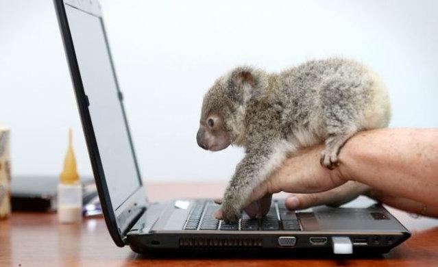 Raymond The Baby Koala