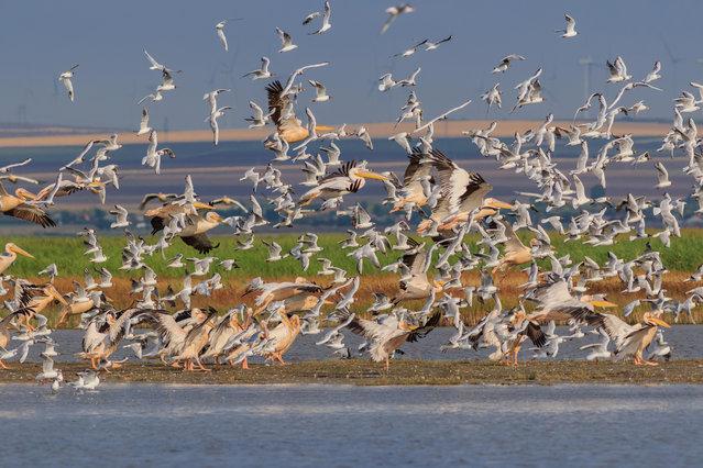 White pelicans and seagulls in flight in the Danube Delta, Romania. (Photo by Stelian Porojnicu/Alamy Stock Photo)