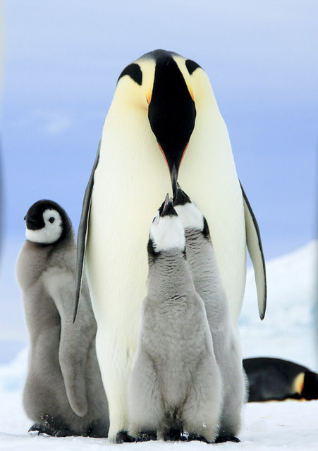 A mother emperor penguin and her babies. (Photo by Dafna Ben Nun/Caters News)