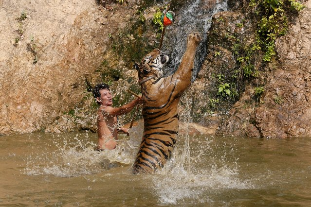 A tiger jumps while being trained at the Tiger Temple in Kanchanaburi province, west of Bangkok, Thailand, February 25, 2016. Thailand's controversial Tiger Temple, dogged for years by talk that it supplies the black market and mistreats its animals, is fighting to keep the big cats after wildlife authorities rejected a bid to extend a zoo licence that expired in 2013. (Photo by Chaiwat Subprasom/Reuters)