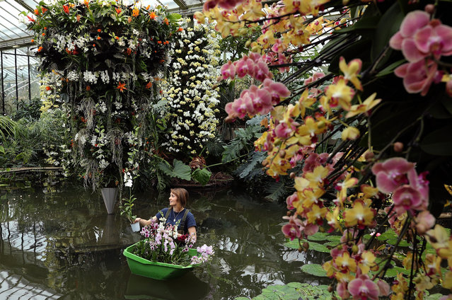 """Botanical Horticulturalist Hannah Button poses momentarily while completing an Orchid display in the Princess of Wales Conservatory at the Royal Botanic Gardens, Kew on February 2, 2017 in London, England. The """"Orchids"""" festival runs from February 4, 2017 and features over 3600 different orchids from across the world. The display took the team of 45 volunteers and horticulturalists over 1600 hours to create. (Photo by Dan Kitwood/Getty Images)"""