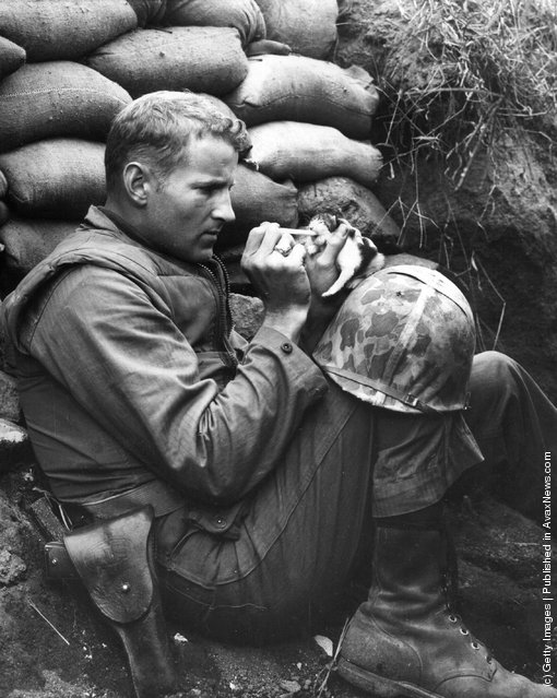 A US Marine feeds an orphan kitten found after a heavy mortar barrage near Bunker Hill during the Korean War