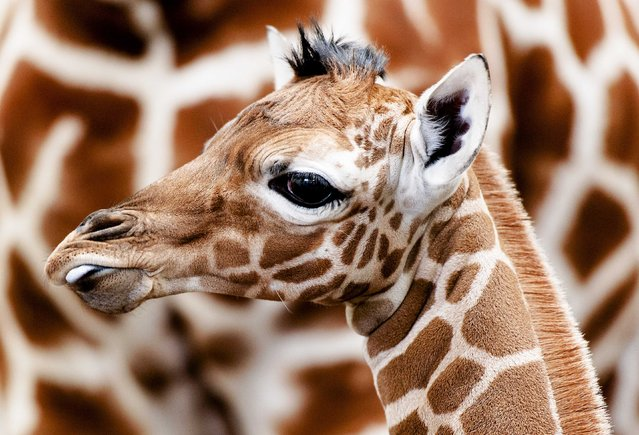 The newly born giraffe with her mother Iwana in a shed in Zoo Artis in Amsterdam, Netherlands, 02 March 2014. The yet unnamed giraffe was born the previous day. (Photo by Robin Van Loinkhuijsen/EPA)