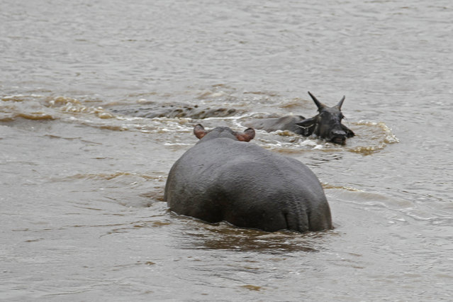 In its panic the gnu ends up swimming further back into the water, with the crocodile holding on tightly, it is now the hippo begins to intervene. (Photo by Vadim Onishchenko/Caters News)