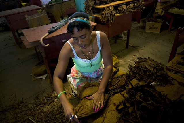 """In this February 28, 2017 photo, a """"despalilladora"""" removes the central vein from a tobacco leaf inside a state-run warehouse in San Luis, in Cuba's western province Pinar del Rio. After the central vein is removed from each dried leaf, they're dipped in ammonium and water and dried again for at least two months. (Photo by Ramon Espinosa/AP Photo)"""