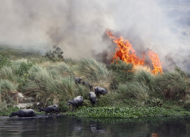 Buffalos escape a fire, which is spreading on a patch of land by the Yamuna river, on a hot summer day in New Delhi, India, June 9, 2015. (Photo by Anindito Mukherjee/Reuters)