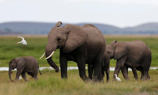 A bird flies over a family of elephants walking in the Amboseli National Park, southeast of Kenya's capital Nairobi, April 25, 2016. (Photo by Thomas Mukoya/Reuters)