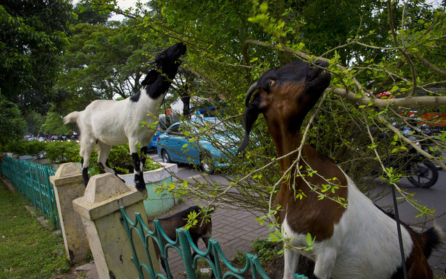 Goats feed on a tree in Manggarai park in the Indonesian capital city of Jakarta on April 15, 2014. Experts urged the government to develop more public parks, to balance the city's ecosystem with its limited park and its increasing population, compounded by urban congestion and worsening traffic problems. (Photo by Romeo Gacad/AFP Photo)