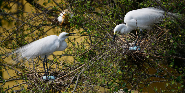 Egrets protect their eggs on a tree in Panbazar area at the banks of the Brahmaputra river in Guwahati, India, 03 May 2016. During this season of the year, hundreds of egrets build their nests in thickly populated trees in Panbazar area, which is a major business center of Guwahati city. With the expansion of the city and fast growing high-rise buildings, many trees of this area have been cut down, as a result, egrets are quickly losing their breeding habitat. (Photo by EPA/Stringer)