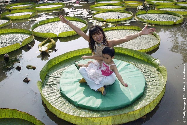 A Chinese woman and a young girl weighing a combined total of roughly 57.5 kilograms, pose for pictures on a Royal Water Lily leaf at Xian Botanical Garden