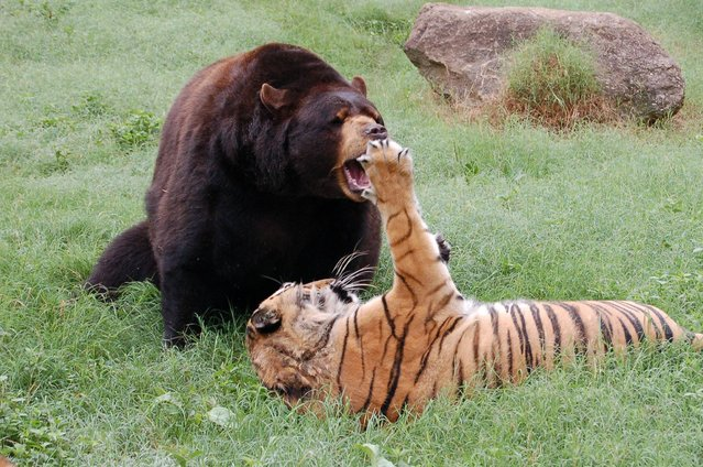 It may sound like the start of a joke but a bear, a lion and a tiger have formed an unusually strong bond, and even share the same enclosure at a zoo in America. Leo the lion, Baloo the bear and Shere Khan the tiger were taken to the Noah's Ark Animal Rescue Centre in Georgia, US, in 2001, after being found by police officers during a drug raid at an Atlanta home, and have been together ever since. In this photo Baloo and Shere Khan spend most of the day playing while Leo sleeps. (Photo by Noah's Ark Animal Sanctuary/Facebook)