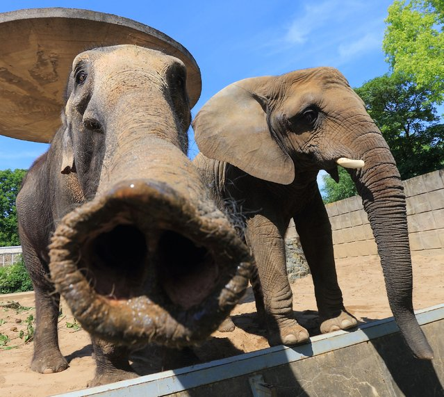Elephants are pictured on May 21, 2014 in their outdoor enclosure at the zoo in Magdeburg. (Photo by Jens Wolf/AFP Photo/DPA)