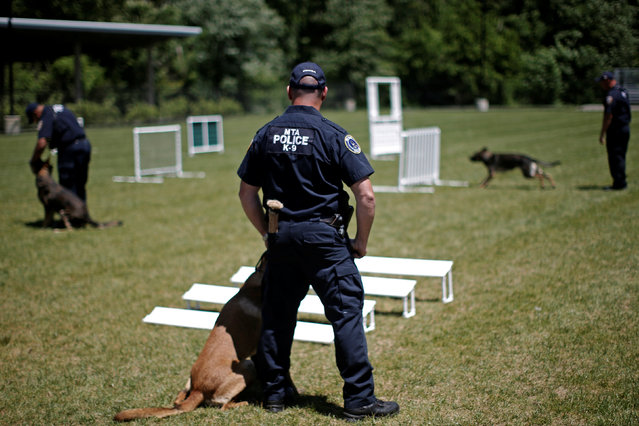 Metropolitan Transit Authority (MTA) Police K-9 explosive detection teams train on the agility course at the new MTA Police Department Canine Training Center in Stormville, New York, U.S., June 6, 2016. (Photo by Mike Segar/Reuters)