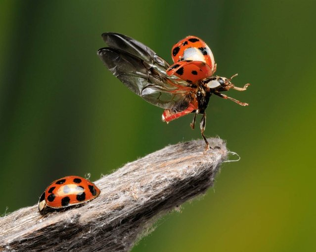 Most of us are used to seeing photos of ladybugs, like the one on the left – the familiar red-and-black round shell, and not much else