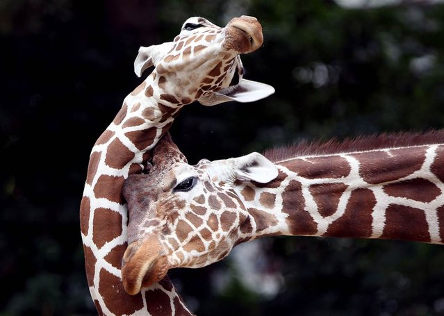 Two reticulated giraffes play at the Zoo in Cologne, Germany. In the wild, giraffes live in sub-Saharan Africa. (Photo by Oliver Berg/AFP)