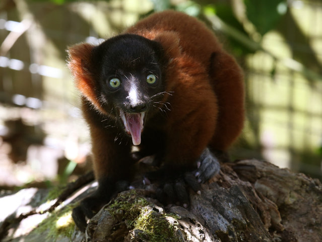 A five-week-old red ruffed lemur explores its enclosure at Blair Drummond Safari Park in Stirling, Scotland on July 14, 2016. (Photo by Andrew Milligan/PA Wire)