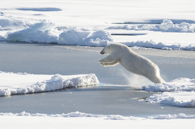 This US Coast Guard photo obtained August 24, 2015 shows a polar bear observed off Coast Guard Cutter Healy's stern, on August 23, 2015, while the cutter is underway in the Arctic Ocean in support of Geotraces. Geotraces is Healy's second science mission of the summer, and is an international effort to study the distribution of trace elements in the world's oceans. (Photo by Cory J. Mendenhall/AFP Photo)