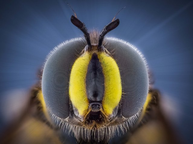 Hover Fly. (Photo by Kutub Uddin/Caters News)