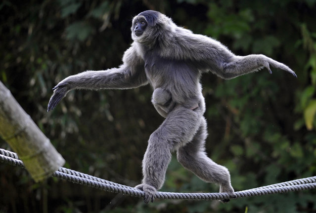Female silvery gibbon Pangrango balances with her four week-old baby on ropes in their compound at the Hellabrunn Zoo in Munich, southern Germany, September 14, 2012. (Photo by Uwe Lein/AP Photo)