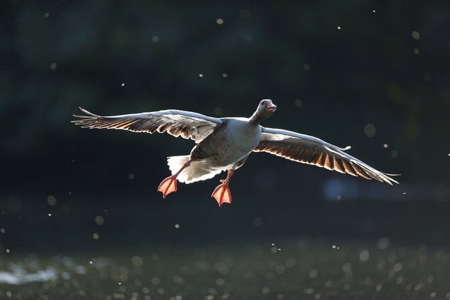 A goose flies in St James's Park, London, Britain, May 14, 2020. (Photo by John Sibley/Reuters)