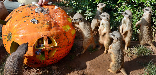 Meerkats inspect a pumpkin filled with fruits and flour worms on September 29, 2014 at the zoo in Leipzig, eastern Germany. (Photo by Waltraud Grubitzsch/AFP Photo/DPA)