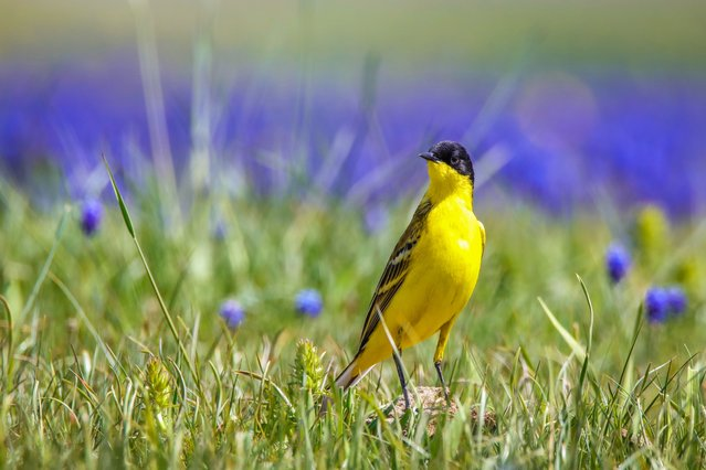 A western yellow wagtail (Motacilla flava feldegg) is seen on a branch around Van Lake on June 16, 2020, in Van, Turkey. The lake and reeds declared as the areas to be protected in Van Lake Basin visited by migratory birds coming to the region with the warming of the weather. 234 species of hundreds of bird species across Turkey, can be observed in Van Lake Basin. (Photo by Ali Ihsan Ozturk/Anadolu Agency via Getty Images)