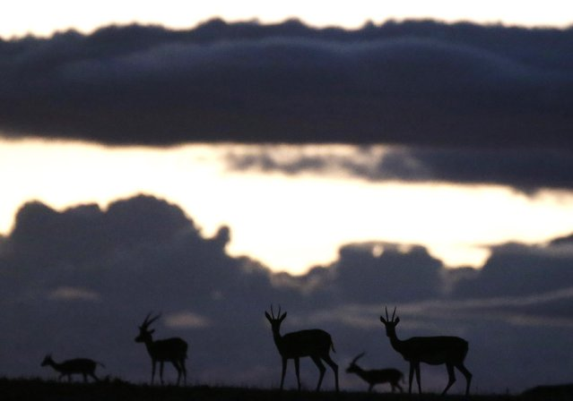 Animals graze at sunset at the Naboisho Conservancy adjacent to the Masai Mara National Reserve October 7, 2014. (Photo by Goran Tomasevic/Reuters)