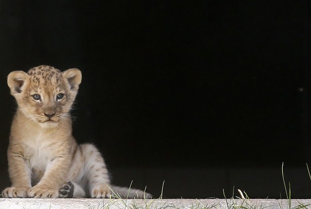 A lion cub sits by a door at the zoo in Sarajevo October 10, 2014. (Photo by Dado Ruvic/Reuters)