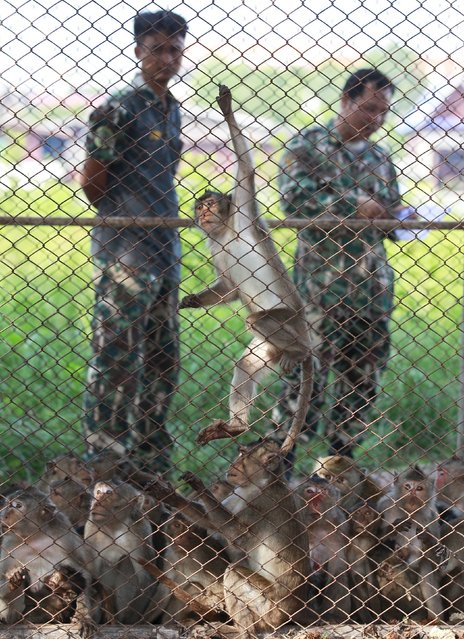 Long-tailed macaques are seen in a cage as a Thai wildlife department official looks on at a village in Bangkok, Thailand, September 21, 2015. (Photo by Chaiwat Subprasom/Reuters)