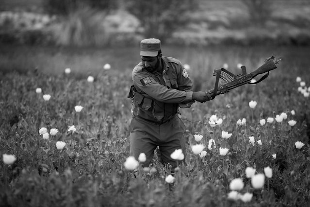An Afghan policeman uses his gun to swipe at opium plants as they tackle the crop on a farm on March 14, 2013, in Babaji village-Helmand Province ,south east Afghanistan. Most of the opium is chemically processed to produce herion, which ends up heading to either Iran, Russia and/or Europe. According to United Nations report, in 2012 there was an increase of 18 percent in cultivation of opium in Afghanistan; the world's largest source of the crop. (Photo by Majid Saeedi/Getty Images)