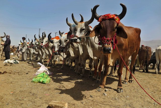 Sacrificial animals on sale at a market ahead of celebrations of Eid al-Adha, in Quetta, Pakistan, 23 September 2015. (Photo by Fayyaz Ahmed/EPA)
