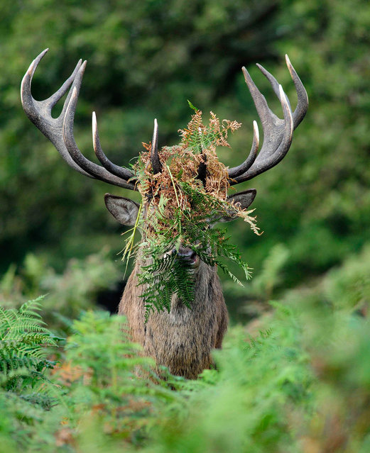 'Anyone asks, you haven't seen me!' A deers head is hidden by foliage. (Photo by William Richardson/Comedy Wildlife Photography Awards/Mercury Press)