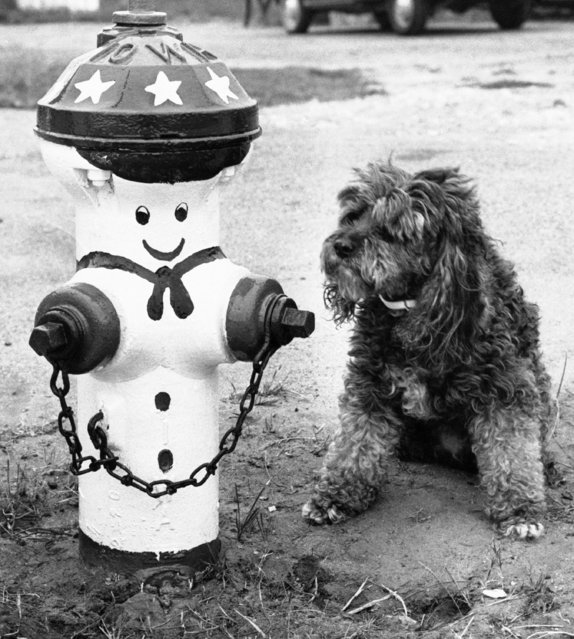 No wonder this pooch looks confused in Salinas, California, October 24, 1975. A plain, ordinary fire hydrant in Salinas, Calif., is all decked out in red, white and blue. Blame the city of Salinas for decorating the fire hydrants in the Spirit of '76 theme. (Photo by AP Photo)