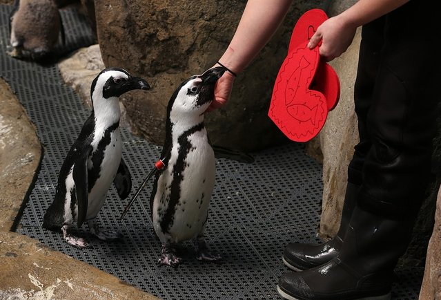 Biologist Crystal Crimbchin hands out Valentine's Day cards to African Penguins at the California Academy of Sciences on February 13, 2013 in San Francisco, California.  In honor of Valentine's Day, the colony of African Penguins at the California Academy of Sciences received heart-shaped red valentines with hand written messages from Academy visitors. (Photo by Justin Sullivan)