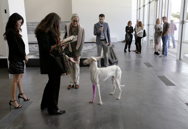 """Visitors view """"Human"""", a dog and one of the live elements of French artist Pierre Huyghe's first major retrospective, during the press preview at the Los Angeles County Museum of Art (LACMA) in Los Angeles, California November 19, 2014. (Photo by Jason Redmond/Reuters)"""