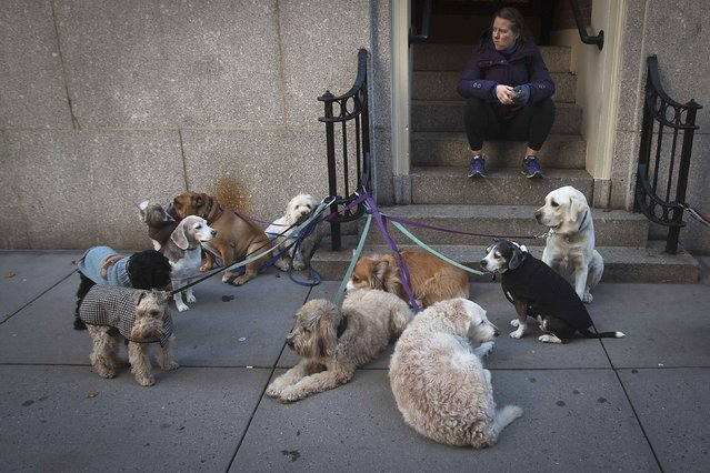 Dog walker Silvia Anita sits on a stoop with the dogs she is going to walk on the Upper East Side of the Manhattan borough of New York, December 4, 2014. (Photo by Carlo Allegri/Reuters)